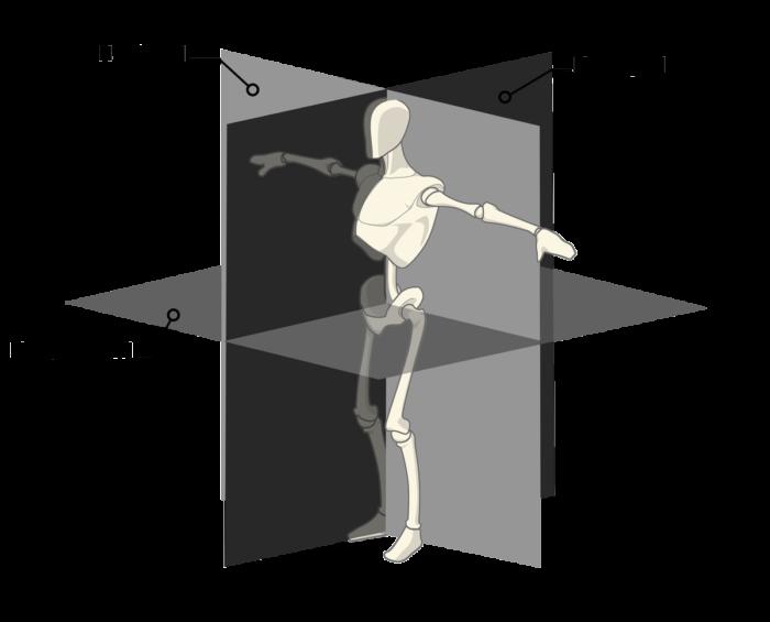 Les plans anatomiques de référence
